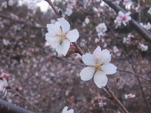 冬桜と紅葉が一緒!鬼石・桜山公園/群馬 [名所・ …